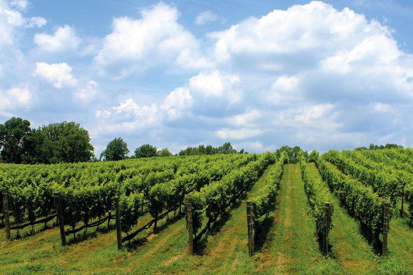 Niagara-on-the-Lake vineyard