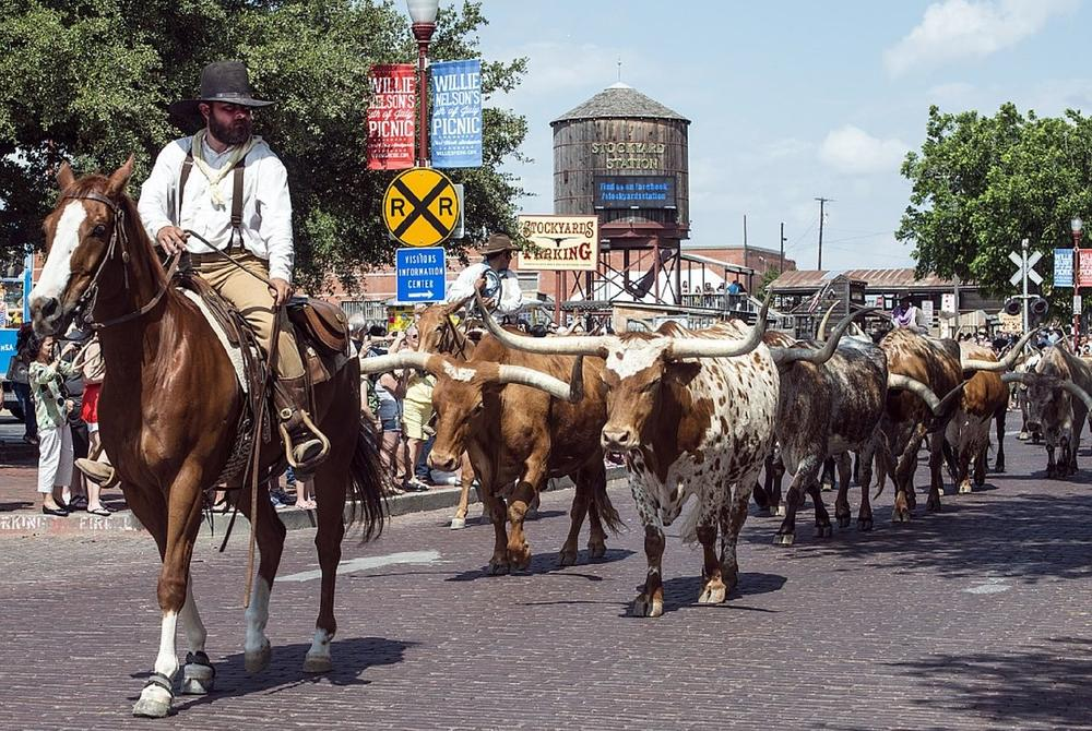 Cattle in the streets of Fort Worth