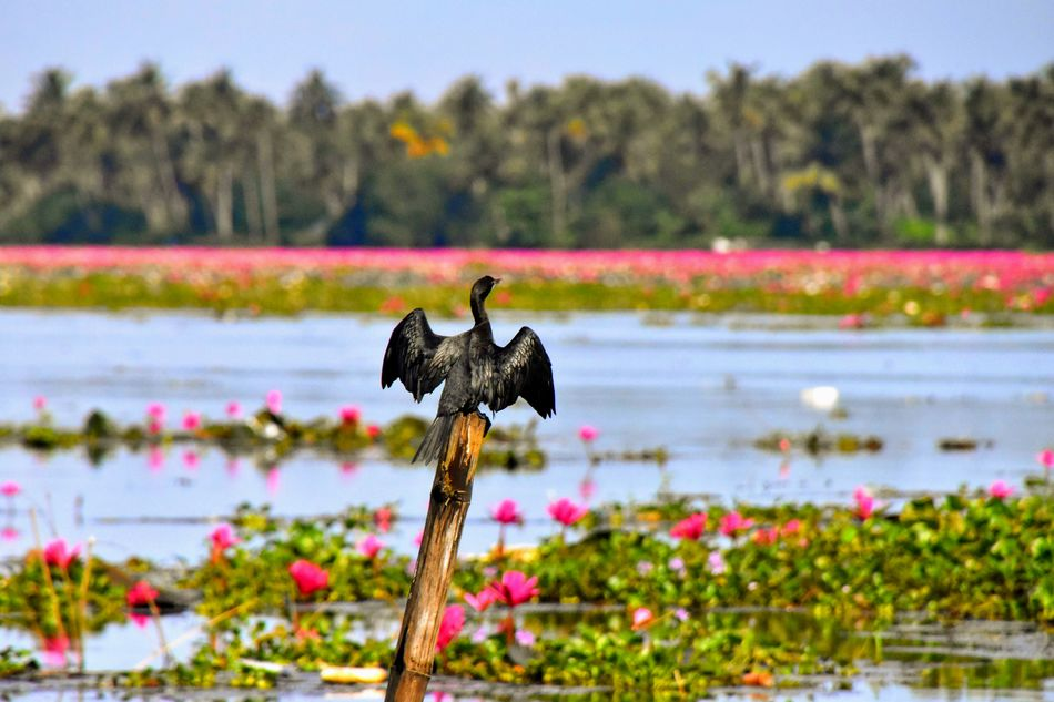 The wetlands and lagoons of Kumarakom, Kerala