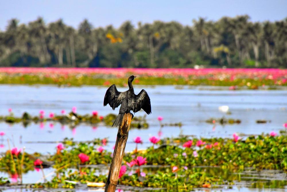 Bird in the lagoon and wetlands at Kumarakom