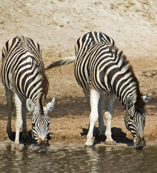 Three zebra drinking from the Boteti River, Makgadikgadi Pans National Park, Botswana