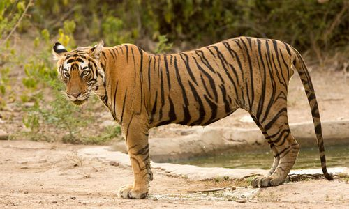 Tiger, Ranthambore National Park