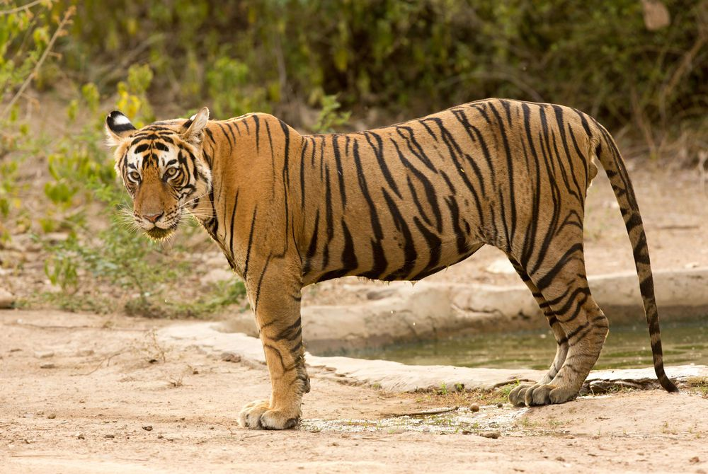 Tiger, Ranthambore National Park, India