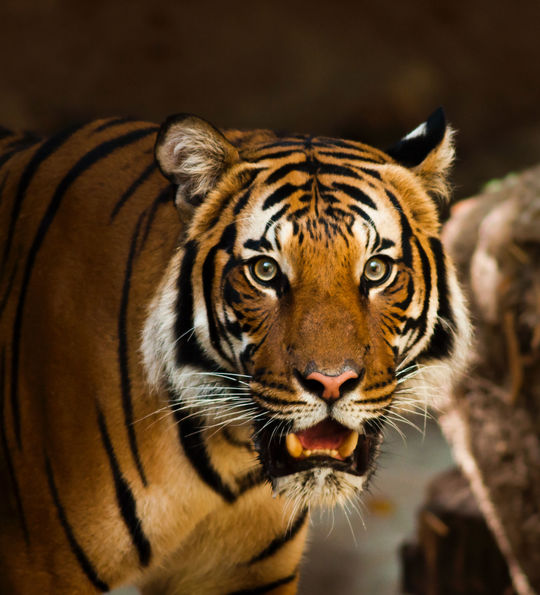 A tiger in Ranthambore National Park