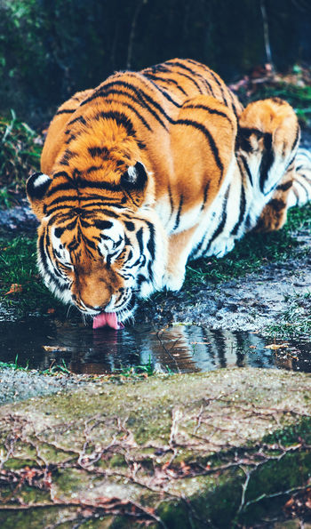 Tiger crouching and drinking from a natural pool