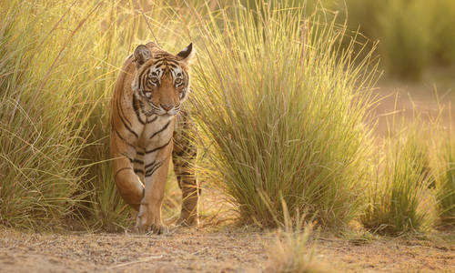 Royal Bengal tiger in Ranthambore National Park