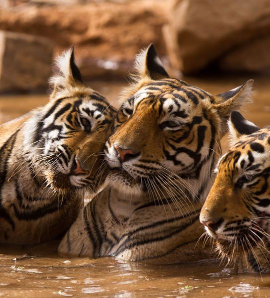 Tigers of Ranthambore National Park in Rajasthan, India