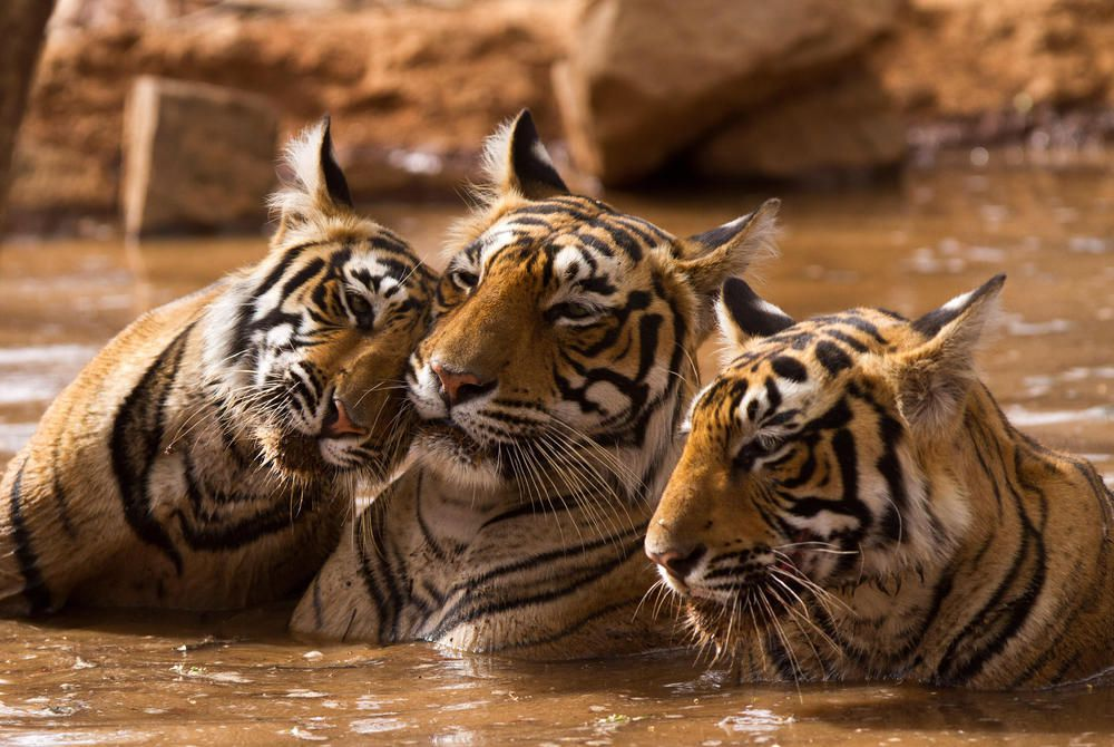 Tigers, Ranthambore National Park, India