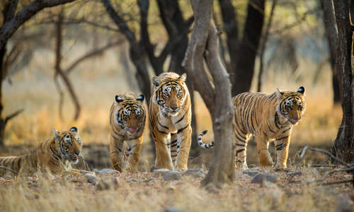 Tigers in Ranthambore National Park, Rajasthan