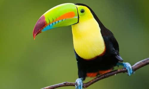 Toucan, Amazon