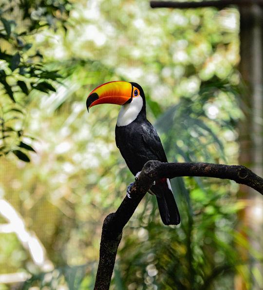 Toucan, Ecuador