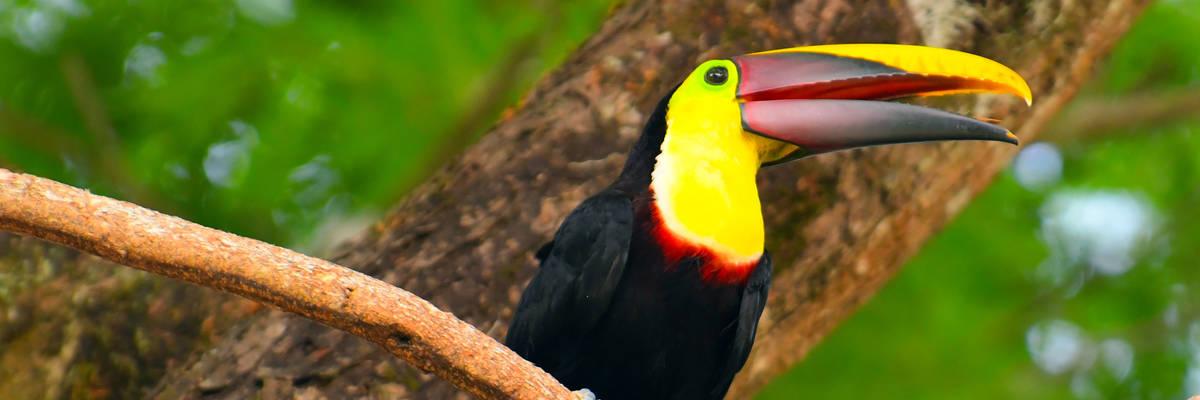 Toucan, Manuel Antonio National Park, Costa Rica