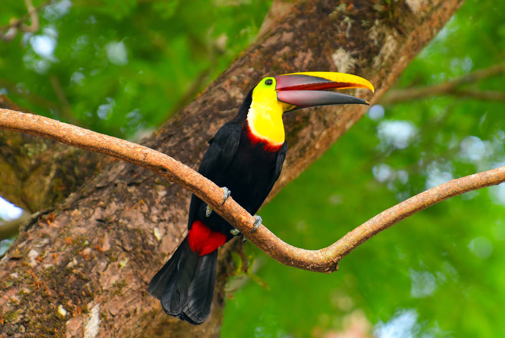 Toucan, Manuel Antonio National Park