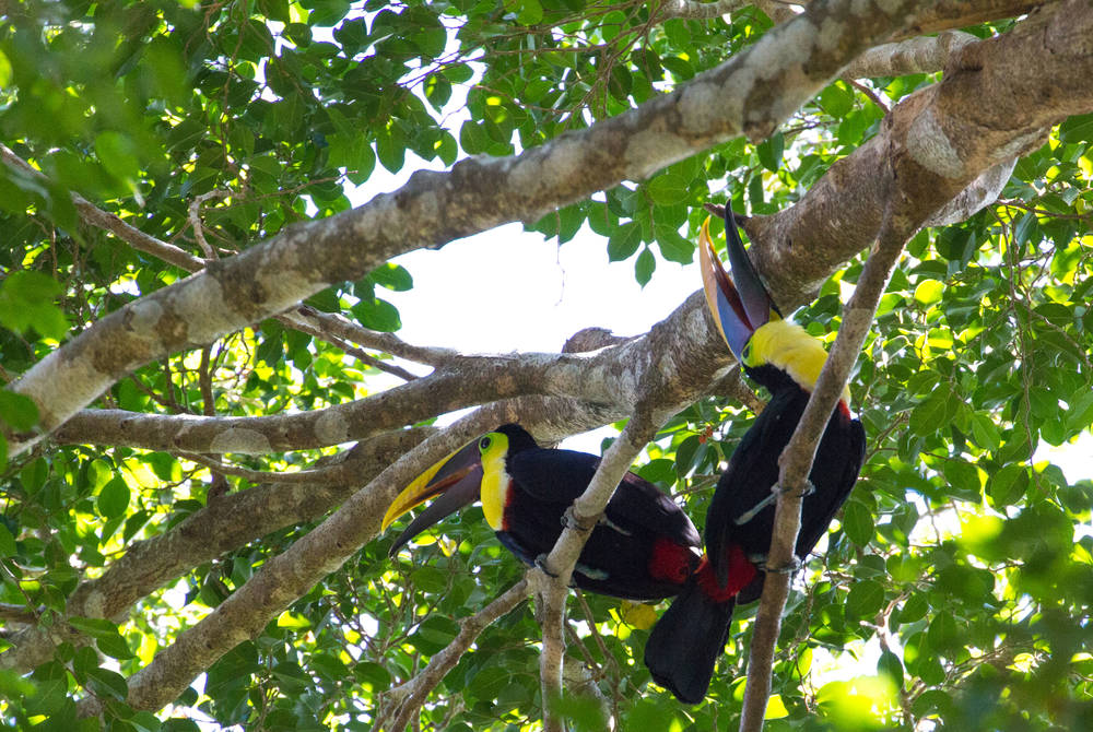 Toucans, Osa Peninsula
