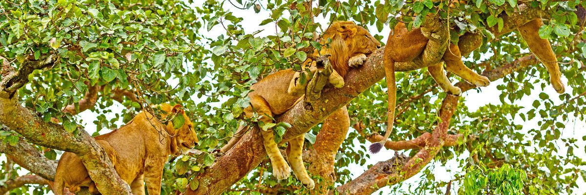 Tree-climbing lions, Queen Elizabeth National Park, Uganda