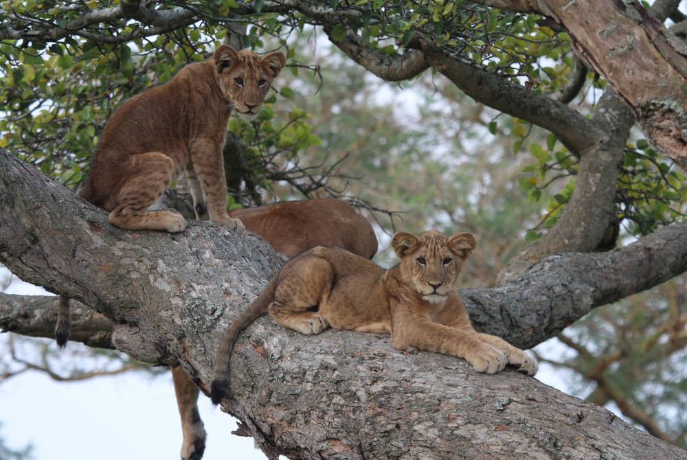 Tree lions on a trip to Uganda