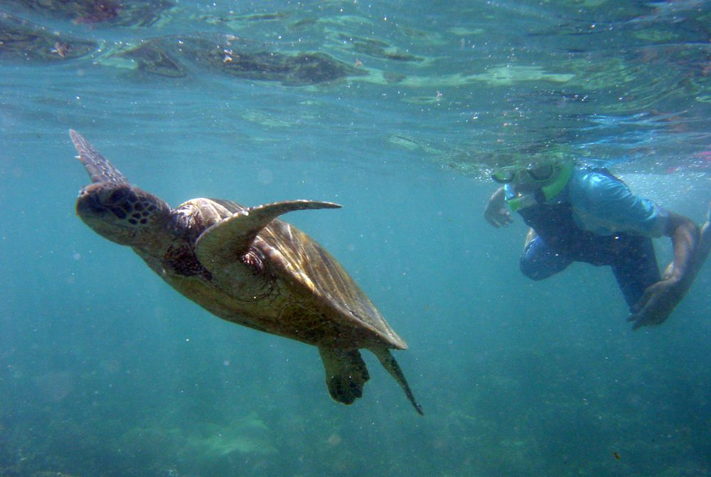 Turtle, Ningaloo Reef, Western Australia, Australia