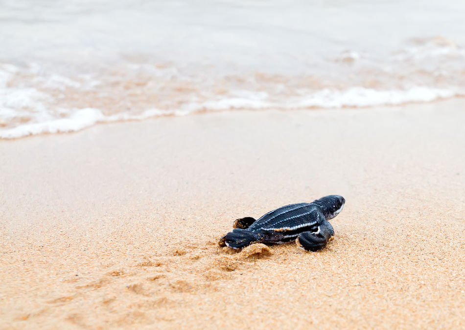 Costa Rican turtle hatchling crawling towards the sea