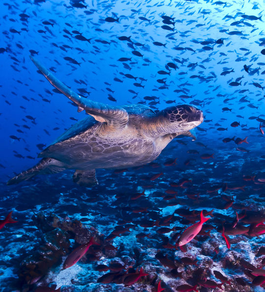 Turtle in Galapagos