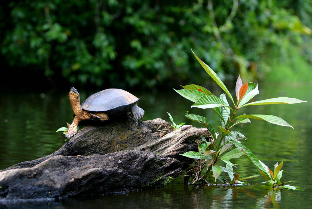 Turtle in Tortuguero River