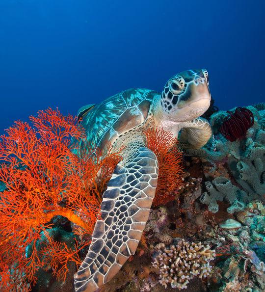 Turtle of the Gili Islands