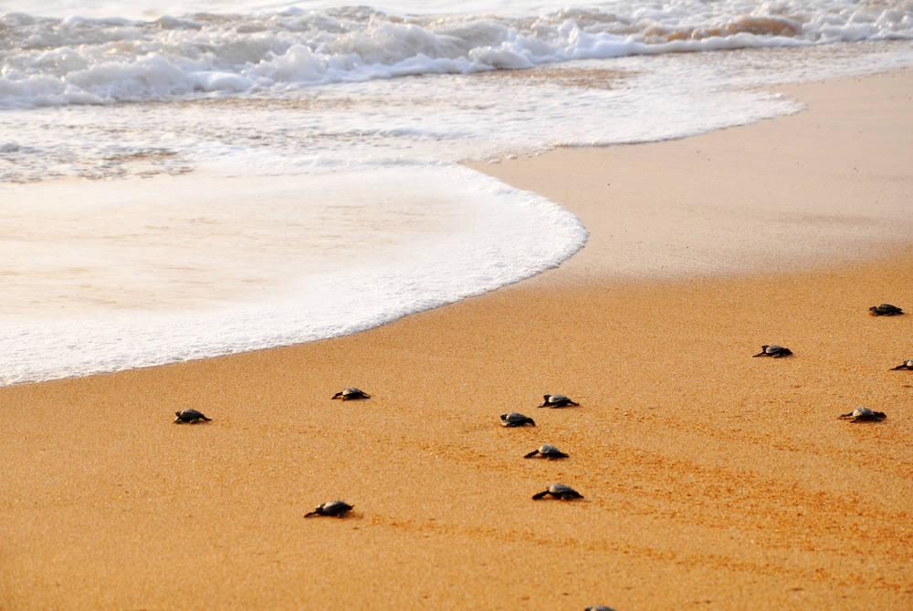 Turtles, Bentota