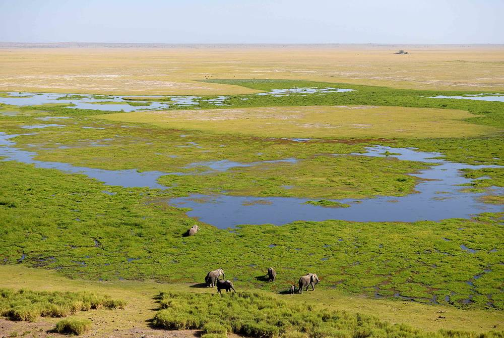Marsh elephants, Amboseli