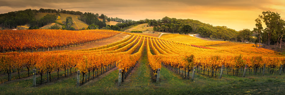 Autumnal scenes at an Adelaide vineyard