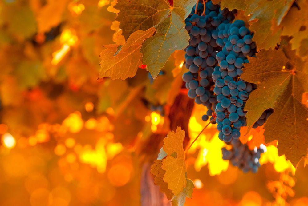 Vineyard, Mendoza, Argentina