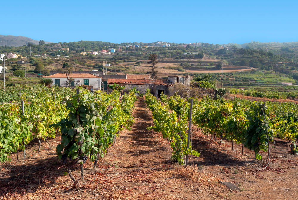 Vineyard, Tenerife