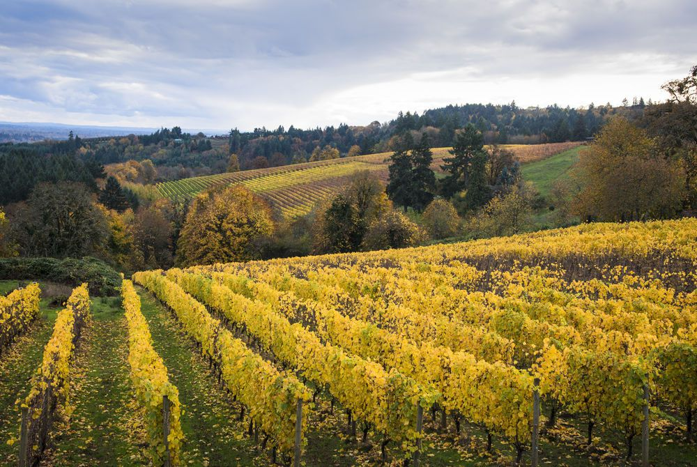 Vineyard, Willamette Valley, Oregon