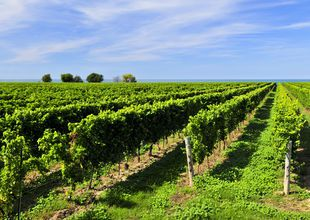Vineyards, Niagara, Canada