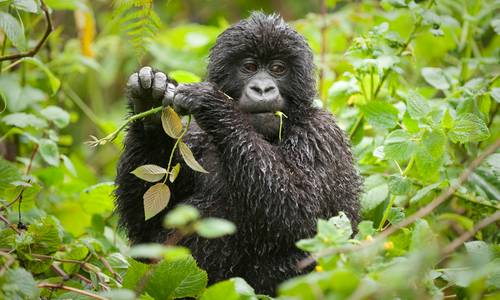 Baby gorilla, Virunga Safari Lodge