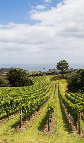 Waiheke vineyard, New Zealand