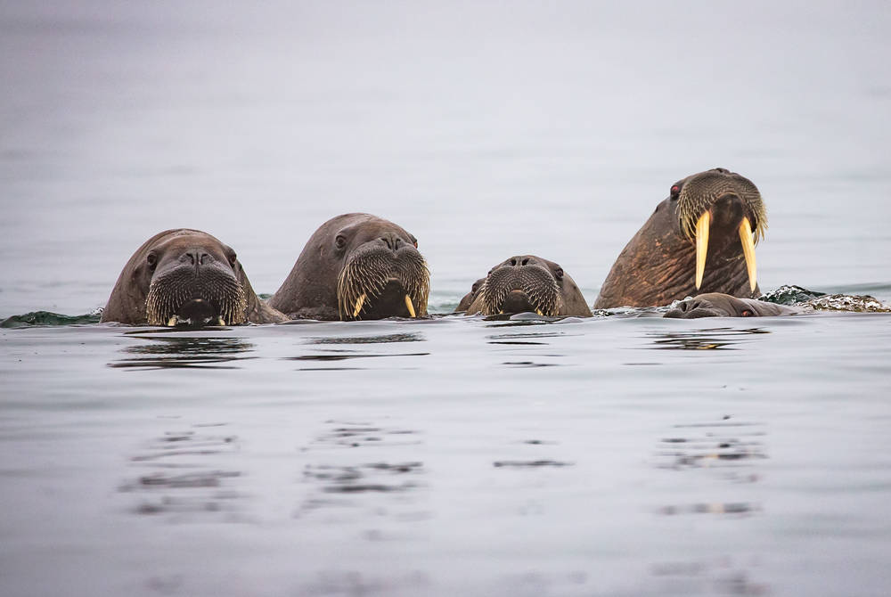Walrus safari, Svalbard