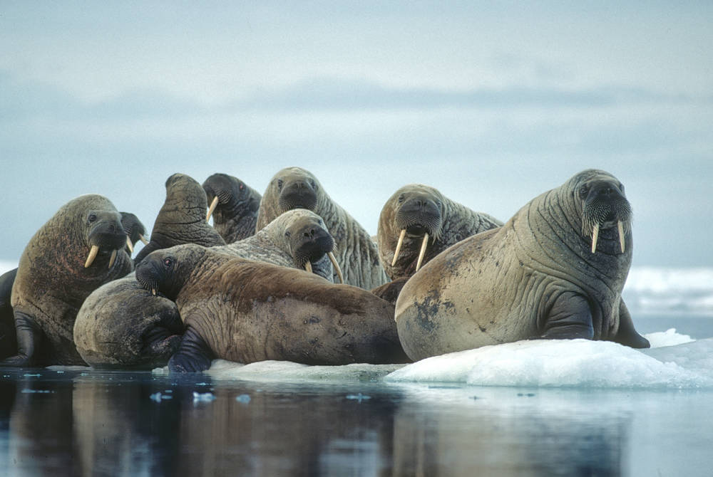 Walruses in the Canadian Arctic