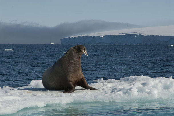 Walrus perched atop an iceberg