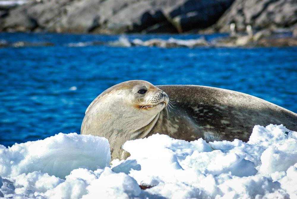 Weddell seal, Commonwealth Bay