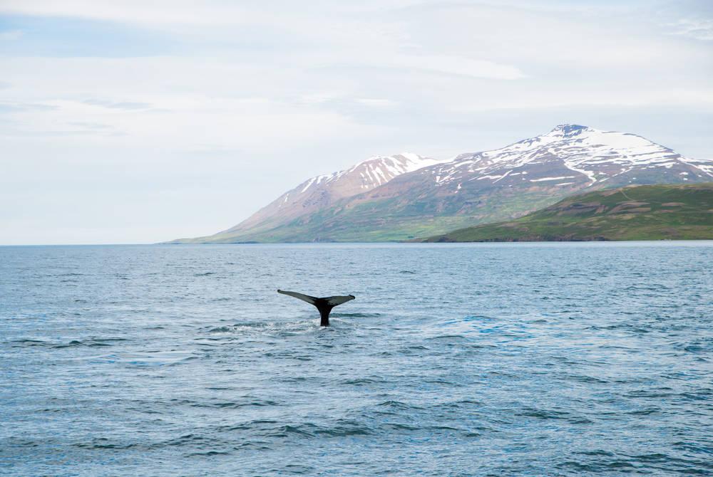 Whale, Akureyri, Iceland