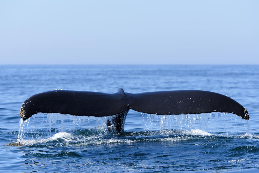 Whale tail in water at Bay of Fundy Canada