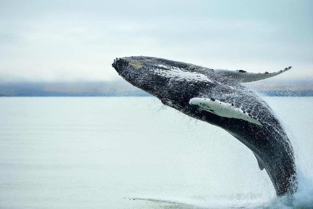 Whale breaching in Husavik, Iceland