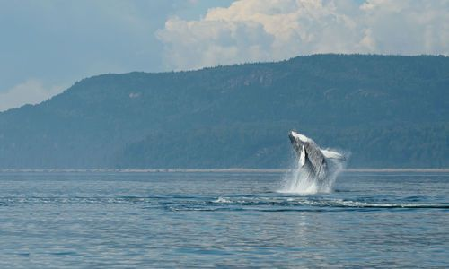 Breaching whale, Québec, Canada