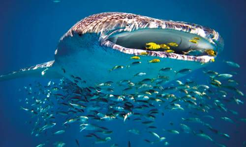 Whale shark, Ningaloo Reef, Coral Coast