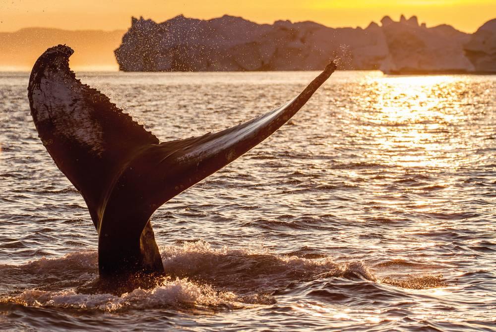 Whale, Ilulissat