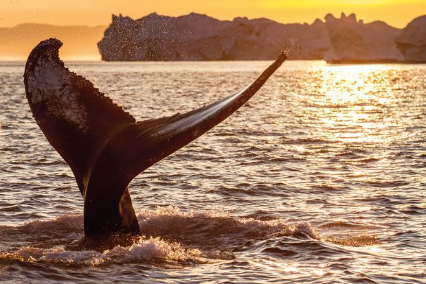 Whale Watching Midnight Sun Scandinavia