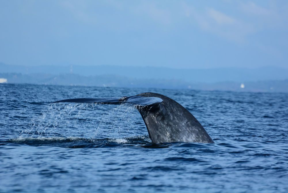 Whale Watching, Galle, Sri Lanka
