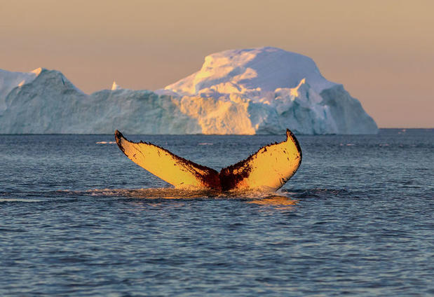 Whale breaching the surface in Disko Bay, Greenland