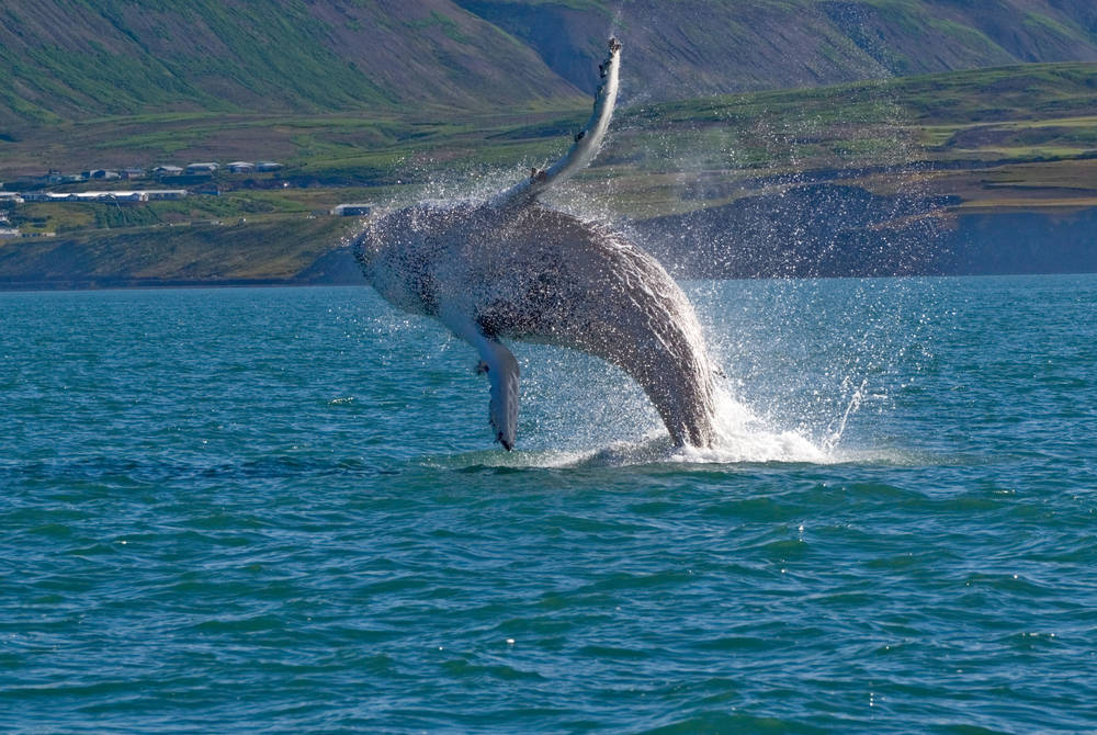 Breaching whale, north Iceland