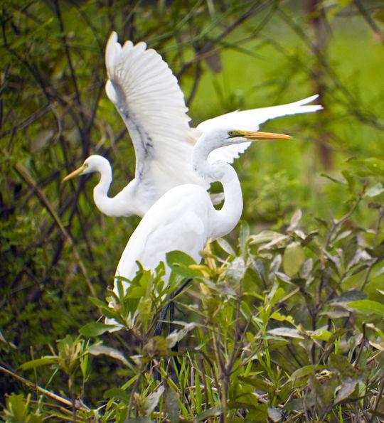 White egrets near Darwin, Australia