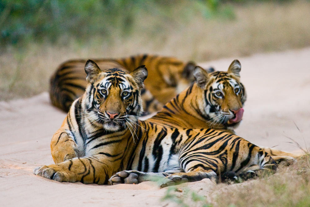 tigers at Bandhavgarh National Park
